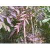 冬红白蜡 鲁蜡5号 秋紫白蜡 机制白蜡种植基地