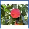 供应燕红桃