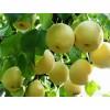 供应优质黄冠梨、黄金梨、绿宝石、酥梨