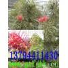 红花银桦苗,红花荷苗,铁冬青苗,宫粉紫荆苗,澳洲火焰木苗