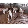 国外羊优良品种:波尔山羊