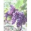 极早熟葡萄新品种夏至红苗木