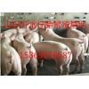 山东最大最便宜的仔猪交易批发市场山东仔猪价格