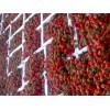 江苏徐州草莓
