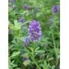 紫花苜蓿 种子,紫花苜蓿 种子公司