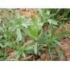 马齿苋野菜种子批发销售野菜种子厂家野菜种子供应