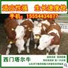 出售牛犊种牛,育肥牛小黄牛西门塔尔牛价格