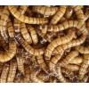 诚招黄粉虫、大麦虫养殖户