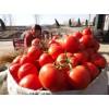供应暖棚西红柿2014年山东冬季大棚西红柿价格