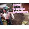 供应岑溪软枝油茶种子、大果红花油茶种子