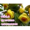 供多种规格的金花茶苗 防普四季毛瓣凹脉黄抱茎金花茶树苗