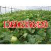代购甜瓜(鲁西瓜果蔬菜交易市场)-喻屯甜瓜,甜瓜,瓜果