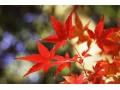 日本红枫图片一