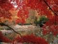 日本红枫图片二