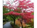 日本红枫图片三