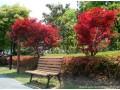 日本红枫图片五
