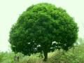桂花树图片二
