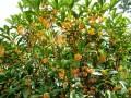 桂花树图片五