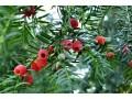 红豆杉图片一
