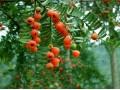 红豆杉图片二