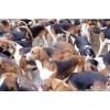 杂交野兔价格,杂交野兔养殖场,肉狗,肉鸽