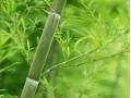 竹类图片一