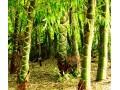 竹类图片二