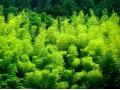 竹类图片三