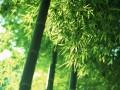 竹类图片四