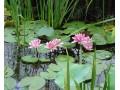 水生植物图片一