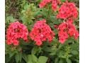 宿根花卉图片二