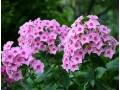 宿根花卉图片三