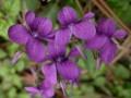 宿根花卉图片五