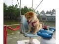 中华田园犬图片一
