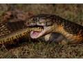 眼镜王蛇图片五