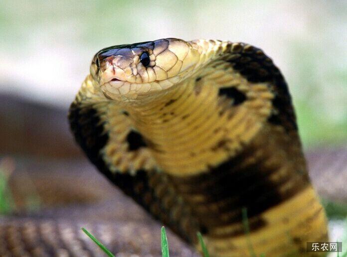眼镜王蛇的养殖技术