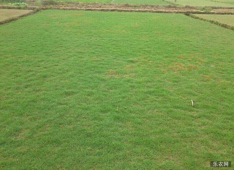 马尼拉草皮种植技术