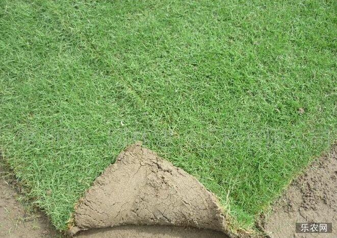 马尼拉草坪种植技术要点