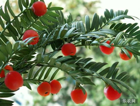红豆杉治疗癌症的作用