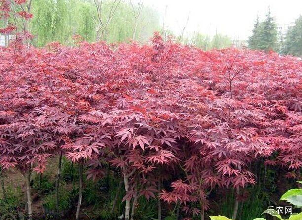 日本红枫形态特征