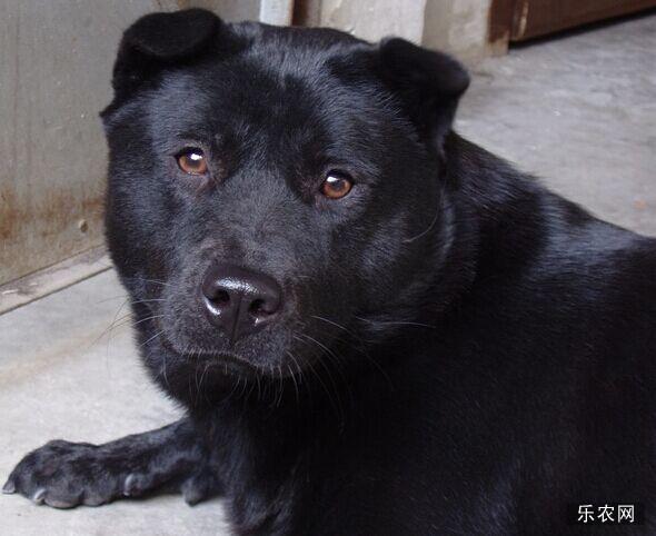 世界上智商最低的犬类--中华田园犬