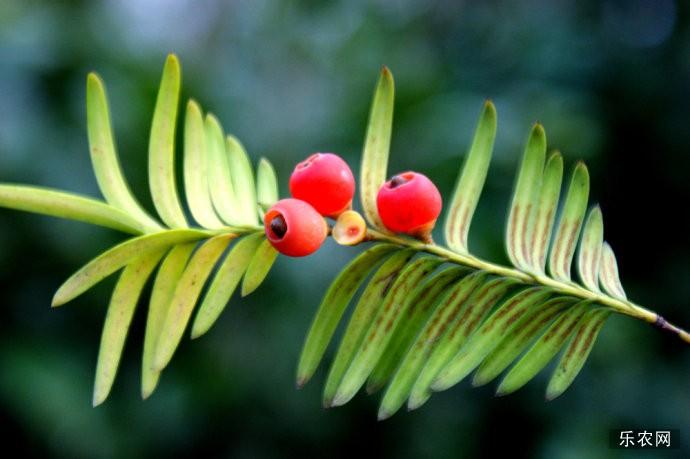 红豆杉的果实能吃吗?红豆杉的食用方法