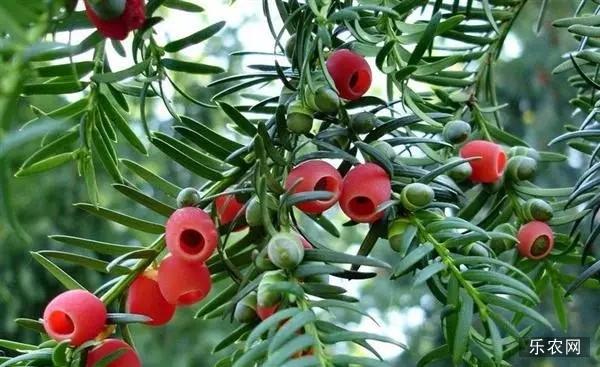 【年花怎么办】红豆杉养护的五点要素