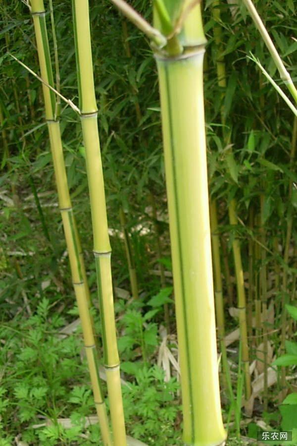金镶玉竹的栽培方法