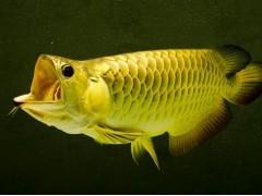 巨滑舌鱼图片一