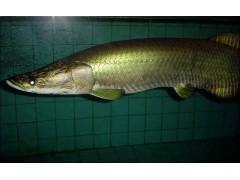 巨滑舌鱼图片二