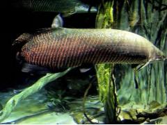 巨滑舌鱼图片四
