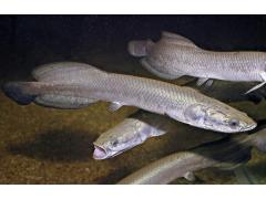 巨滑舌鱼图片五