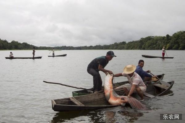 巨滑舌鱼是什么鱼 巨骨舌鱼吃食人鱼吗