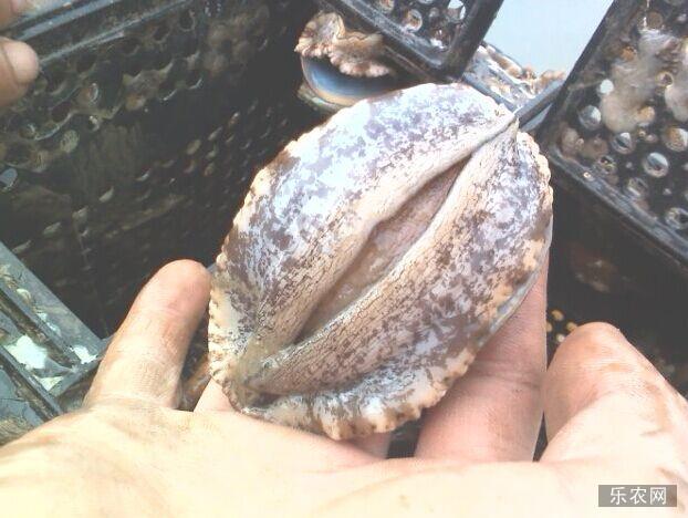 鲍鱼如何保存 鲍鱼的保存方法大全